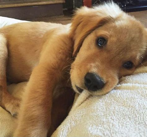 real golden retriever best 25 golden puppy ideas on golden retriever puppies retriever puppy