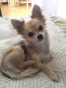 hair chihuahua haircut 3 brave long haired chihuahua haircuts harvardsol com
