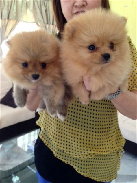 teddy pomeranian breeder pomeranian puppies sold 2 months teddy orange pomeranian from klang kuala