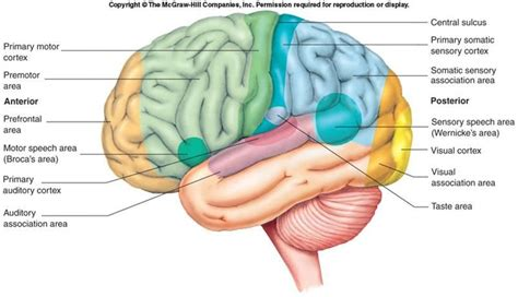 motor association area brain anatomy physiology 1114 with at macon