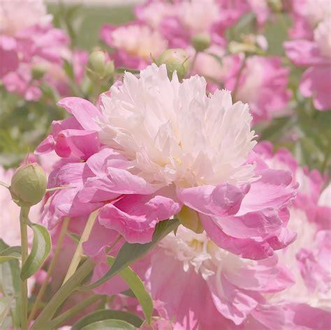 pink peonies www imgkid com the image kid has it white and pink peony www imgkid com the image kid has it