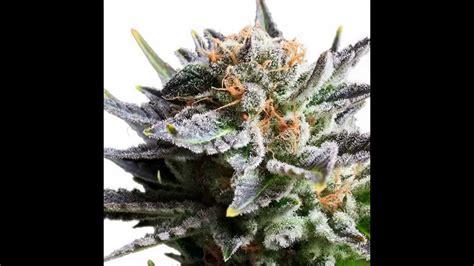 fruit kush fruit spirit cannabis marijuana kush