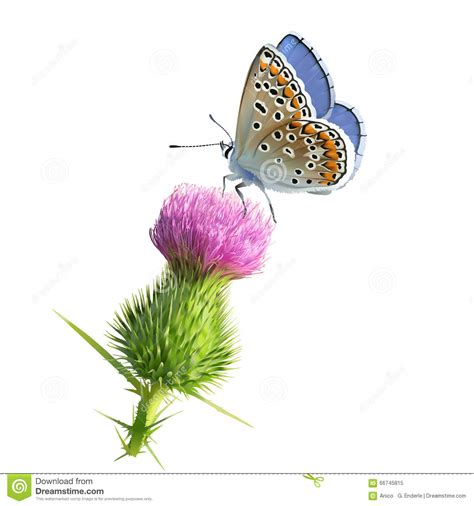 butterfly adonis blue on thistle flower stock vector