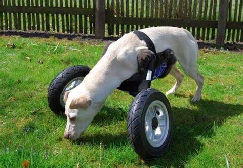 sedia a rotelle per cani sedia a rotelle per cani disabili stata in 3d sta
