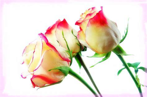 imagenes de rosas matizadas fondo de pantalla con fotos de flores de rosas im 225 genes
