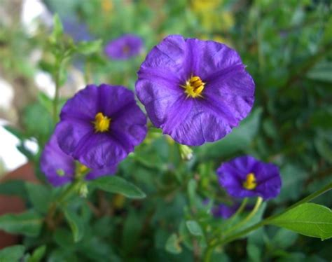 arbusto fiori viola solanum rantonnetii solanum rantonnetii piante da