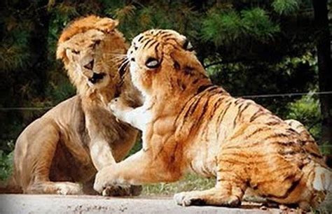 lions and tigers and nurses a nursing novella about lateral violence nursing novellas volume 1 books pojedynek tygrys kontra lew dinoanimals pl
