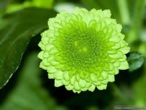 Light Green Flowers - green flower wallpaper 1024x768 3421