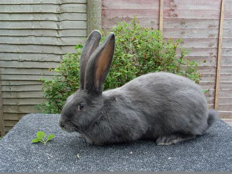 Sisir Untuk Kelinci makanan untuk kelinci binatang peliharaan