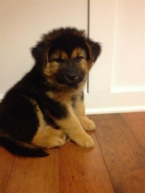 german shepherd golden retriever mix puppies german shepherd golden retriever chow mix looks like