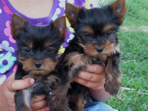 7 week yorkie puppies pocketbook pups terriers puppies