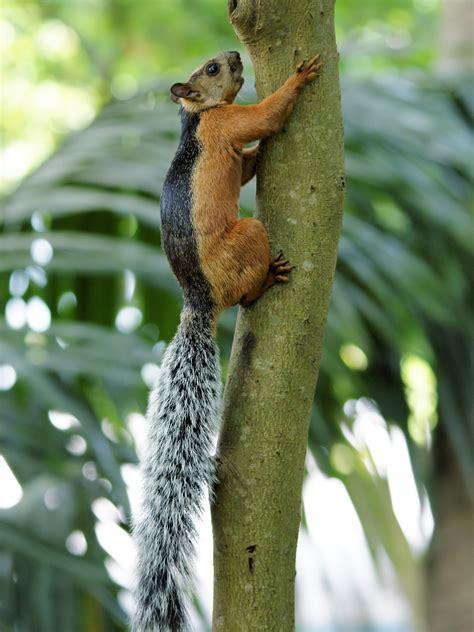 squirrel central variegated squirrel sciurus variegatoides rodentia mexico