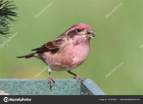masculine purple male purple finch carpodacus purpureus stock photo