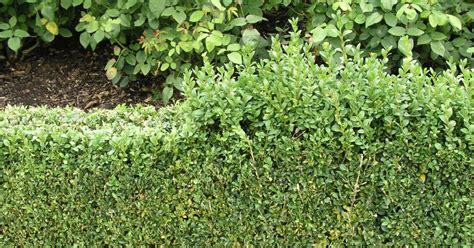 Immergrüne Pflanzen Sichtschutz 2396 by Idee Hecke Garten