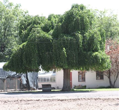 non fruiting mulberry tree weeping mulberry trees trees in the desert
