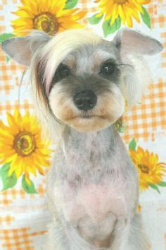 asian style schaunzer hair trim schnoodle hair cuts schnoodle haircuts my loving