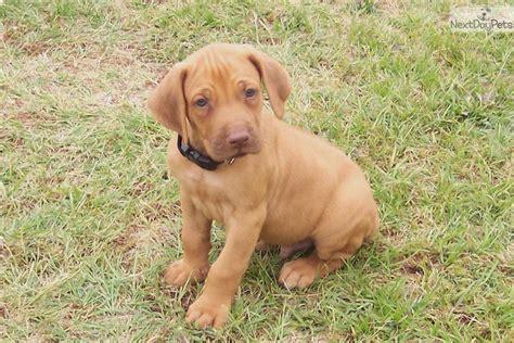 rhodesian ridgeback puppies for sale rhodesian ridgeback puppy for sale near east tx b99008d1 0061