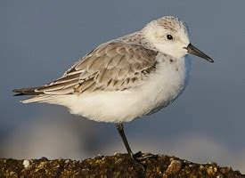 sanderling videos all about birds cornell lab of