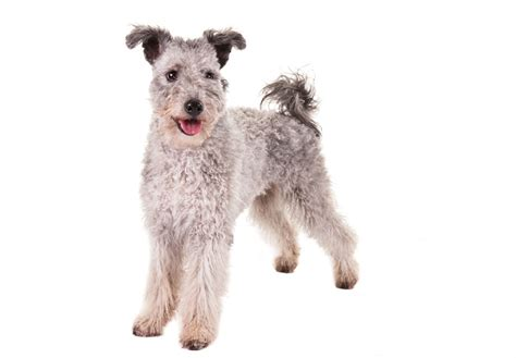 pumi for sale pumi puppies for sale akc puppyfinder