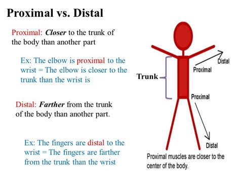 Proximal And Distal Anatomy