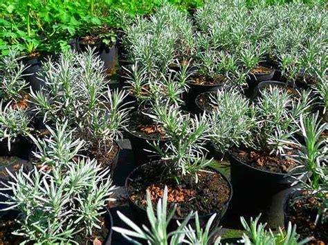 piante aromatiche da giardino piante aromatiche carpi reggio emilia vendita erbe