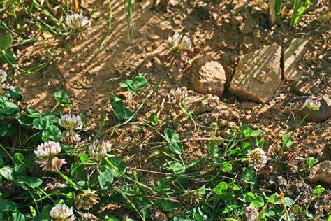 lada fioritura trifolium repens flora di sardegna
