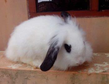 Lop Karakter Kelinci inilah 5 cara merawat kelinci fuzzy lop yang baik dan benar belajar beternak