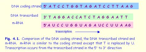 coding template strand 23 transcribe the following sequence of dna locat