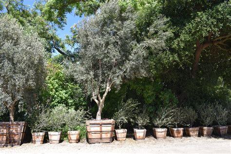 Olive Garden California by Olive Tree Nursery California Thenurseries