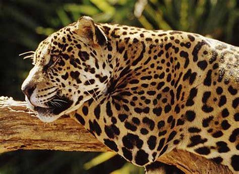 imagenes de jaguar mexicano iii simposio el jaguar mexicano en el siglo xxi grandes