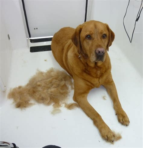 Labrador Shedding by Clear Mobile Grooming Brisbane De Shedding Undercoat Clip
