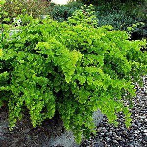 mengenal tanaman paku pteridophyta berbagi ilmu