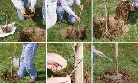 il giardino dei ciliegi riassunto come piantare il ciliegio passo passo fai da te in giardino