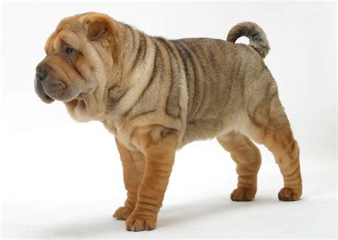 how many sets of do puppies need slideshow 8 most wrinkled breeds