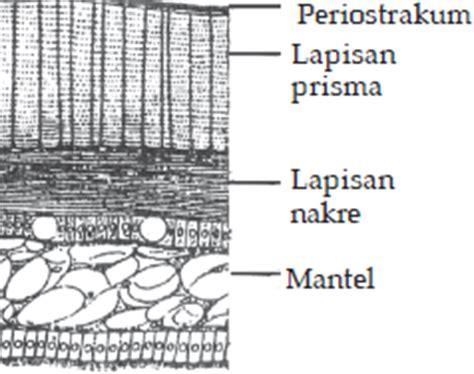 Cangkang Kerang Kepala Kambing belajar terus biologi molusca