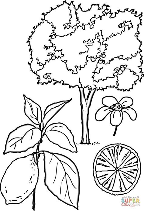 lemon tree coloring page yahoo