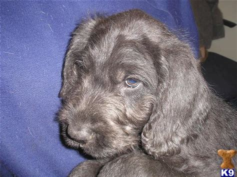 dane doodle puppies for sale dane a doodle pups in uk 32270