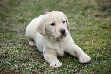 lab puppy labrador retriever puppy photo and wallpaper beautiful labrador retriever puppy pictures