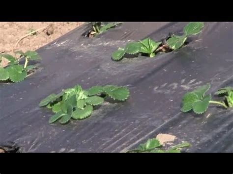 How To Kill Weeds With Plastic Sheeting Before Planting A Using Black Plastic In Vegetable Garden