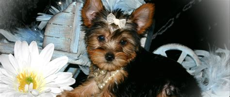 yorkie allergies biewer terrier allergy dogs our friends photo
