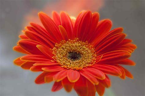 bright orange gerbera daisy fables and flora