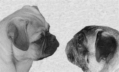 pug breed standard this is what the skull of a pug looks like interestingasfuck