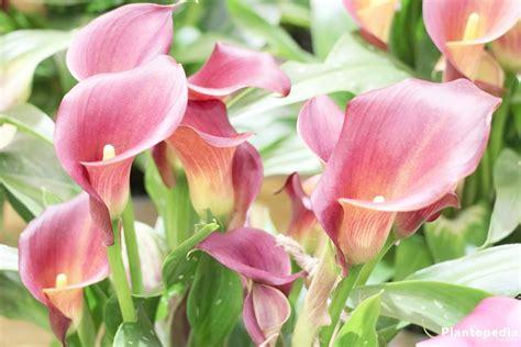 Blume Calla Pflege by Calla Pflanzen Zantedeschia Calla Gelb Topfpflanzen