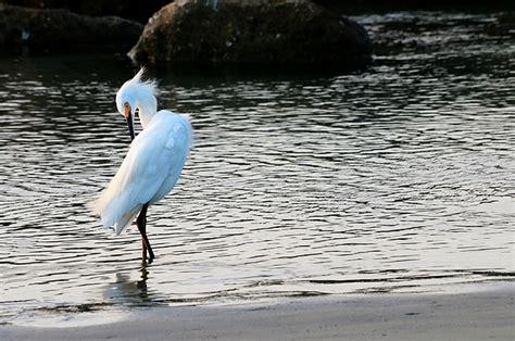 Ramadhan Sale V Neck Carol snowy egret s v neck for sale by carol montoya