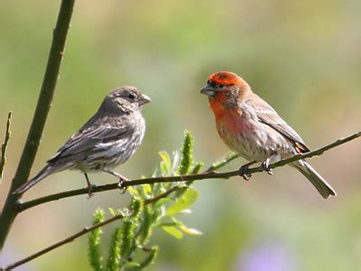 pictures of house finches bird house finch a bright and brown striped bird that readily comes to feeders