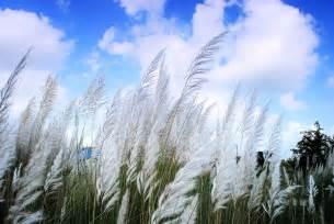 kash phul kans grass saccharum spontaneum is a grass