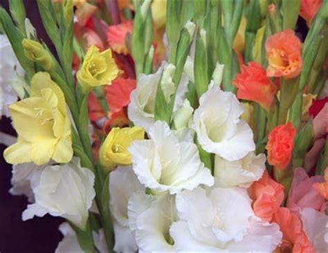 imagenes flores gladiolos jardines 187 gladiolos