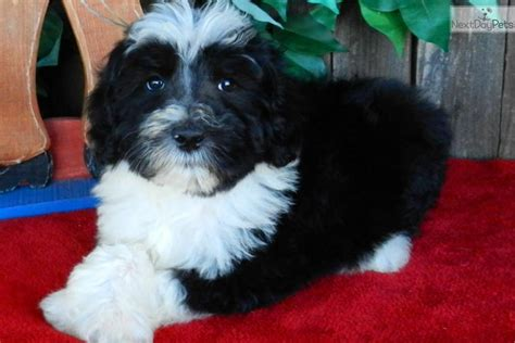 sheep doodle puppies for sale sheepadoodle for sale breeds picture