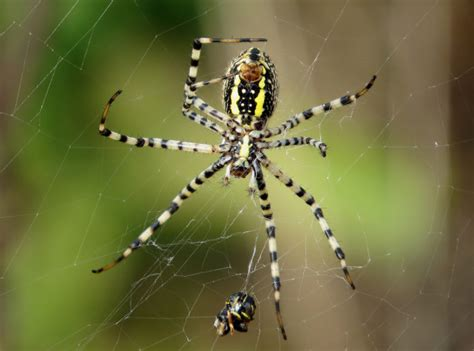 Garden Spider New York Yellow Garden Spider Diet 28 Images Gardening Tips