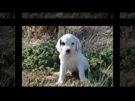 setter dogs 101 llewellin setter puppies litter 101 youtube